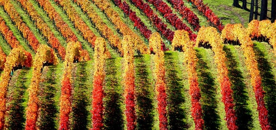 Autumn colours at Fenton vineyard