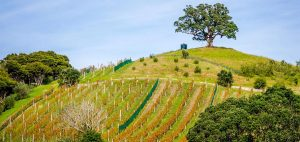 Kennedy Point vineyard 300x142 - Gallery