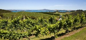 Mudbrick vineyard looking back at Auckland 300x142 - Gallery