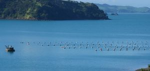 Oysters in Awaawaroa Bay 300x142 - Gallery
