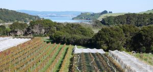 Passage Rock Vineyard looking toward Te Matuku Bay 300x142 - Gallery
