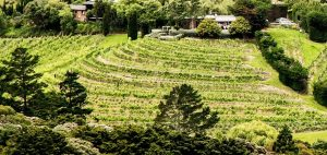 Terraced vineyard at Miro 300x142 - Gallery
